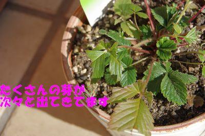 たくさんの芽.JPG