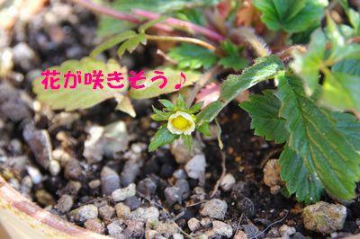 咲きそう.JPG